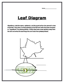 photosynthesis label a leaf diagram by brain powered science tpt rh teacherspayteachers com label the diagrams of a leaf and its internal structure. use these choices