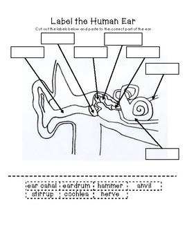 Label the Human Ear by Little Learning Lane | Teachers Pay ...