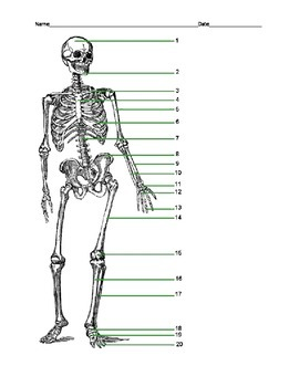 Label the Human Skeleton with KEY
