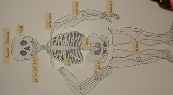 Labeled Skeleton