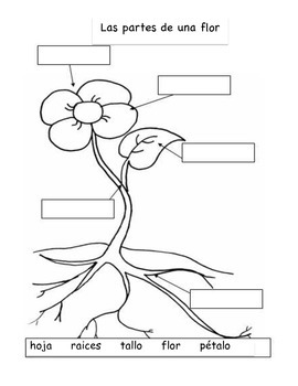 Labeling the parts of a flower and plant - Spanish