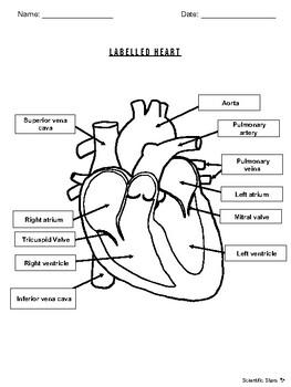 Labelled Heart by Scientific Stars | Teachers Pay Teachers