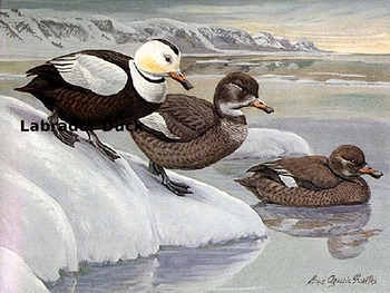 Labrador Duck - Power Point - Extinct - Power Point information facts pictures