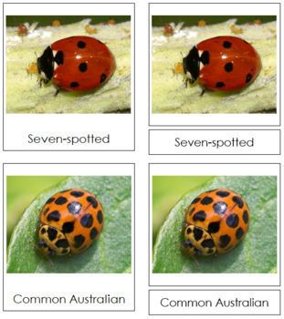 Lady Beetles: 3-Part Cards