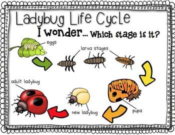 Ladybug Close Read