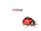 Ladybug Facts