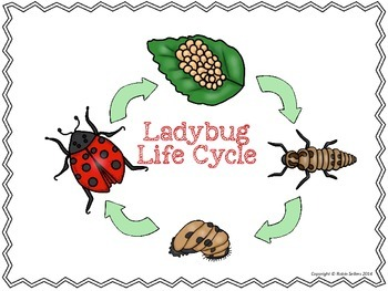 ladybug life cycle 3d life cycle of a ladybug science craftivity
