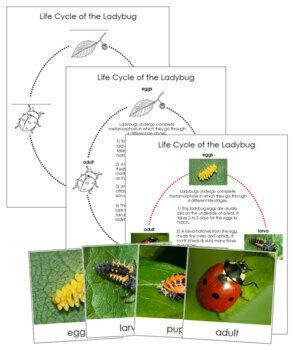 Ladybug Life Cycle Cards and Charts