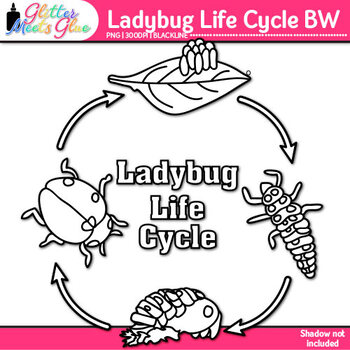 Ladybug Life Cycle Clip Art | Great for Animal Groups, Insect Resources | B&W