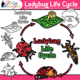 Ladybug Life Cycle Clip Art {Great for Animal Groups, Insect, & Bug Resources}