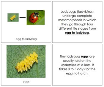 Ladybug Life Cycle Nomenclature Book