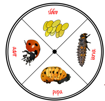Ladybug Life Cycle Printables