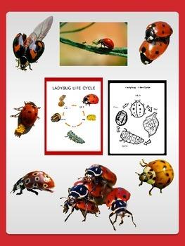 Ladybug Life-Cycle Sheets with Freebie Ladybug Clip Art Commercial OK
