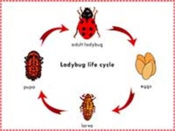 Ladybug Life Cycle: Three Part Cards