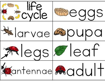 Ladybug Life Cycle {word wall cards}