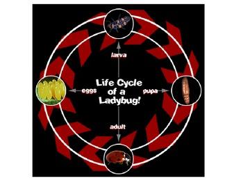 Ladybug Life Cycle1
