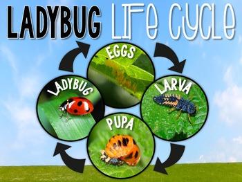 Ladybug Nonfiction Unit