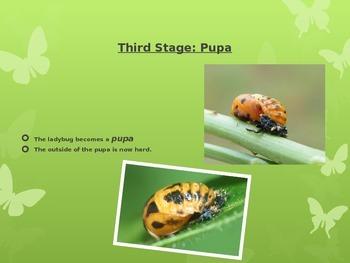 Ladybug Stages