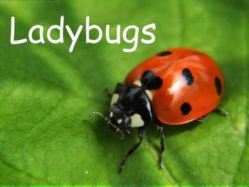 """Ladybugs Nonfiction PowerPoint """"Book"""" for First or Second Grade"""