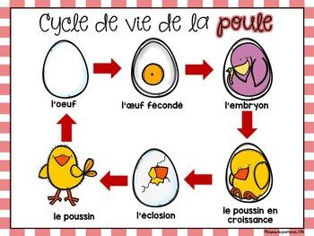 Le cycle de vie de la poule - Chicken Life Cycle in French