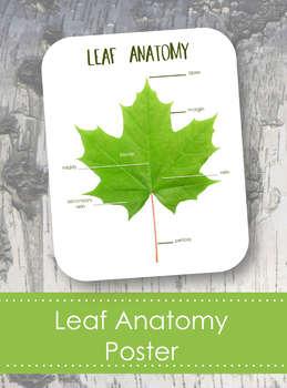 """Leaf Anatomy 8x10"""" Poster- Montessori- Parts of a Leaf"""