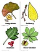 Leaf Collection and Identification Cards