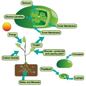 Leaf Diagram and Photosynthesis Clip Art - Color and Blackline Illustrations