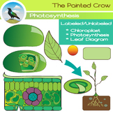 Leaf Diagram and Photosynthesis Clip Art - Color and Black