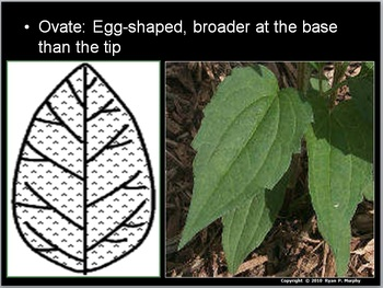 Leaf Identification Lesson, Leaves