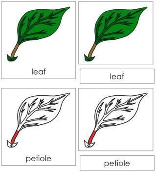 Leaf Nomenclature Cards (Red)