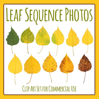 Leaf Photos - Sequence - Summer to Winter Seasons Clip Art for Commercial Use