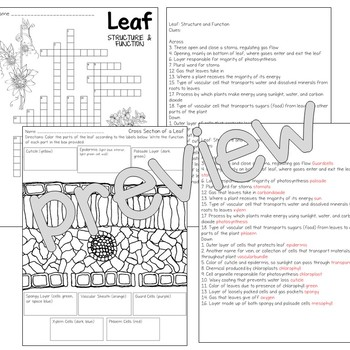 Leaf Anatomy Worksheet Answers Pdf - Anatomy Drawing Diagram