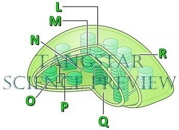 Leaf and Chloroplast Crossword with Diagram {Editable}