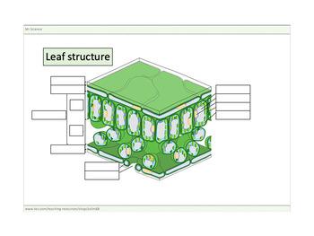 Leaf structure worksheets