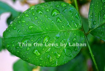 Leaf with Raindrops Stock Photo #163