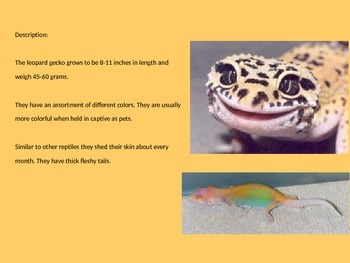 Leopard Gecko - Power Point Pictures Information