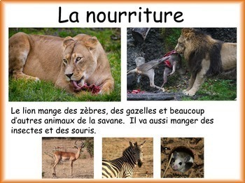 Les animaux: Le lion