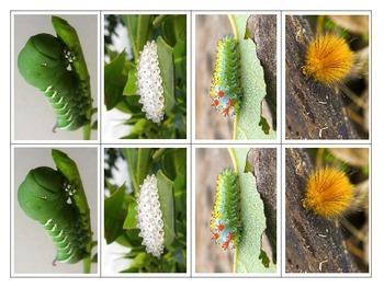 Letter C Caterpillars