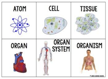 levels of organization card sort activity by science rocks tpt. Black Bedroom Furniture Sets. Home Design Ideas