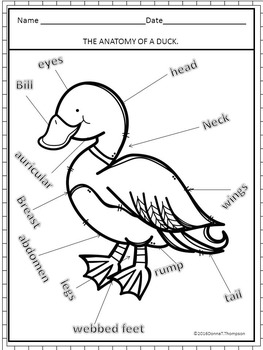 """Duck """"Life Cycle"""""""