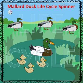 Mallard Duck (Life Cycle Spinner)