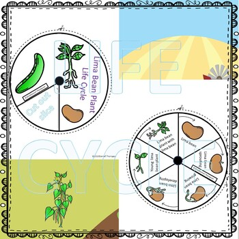 Lima Bean Life Cycle (Peekaboo Spinner Wheel)