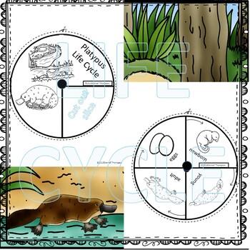 "Platypus ""Life Cycle"" (Peekaboo Spinner Wheel)"