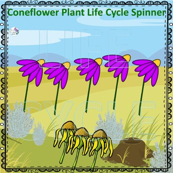 Cornflower (Life Cycle Spinner)