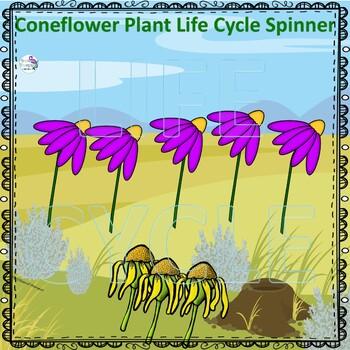 Cornflower Life Cycle (Peekaboo Spinner Wheel)