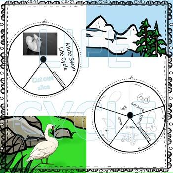 Swan Life Cycle (Peekaboo Spinner Wheel)