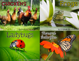 Life Cycle Bundle: chickens, frogs, ladybugs, and monarch butterflies