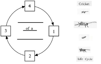 Life Cycle Graphic Organizer 1st grade