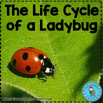 Life Cycle of a Ladybug includes Colored Book, Sequencing, and More
