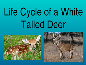 Life Cycle Of A White Tailed Deer